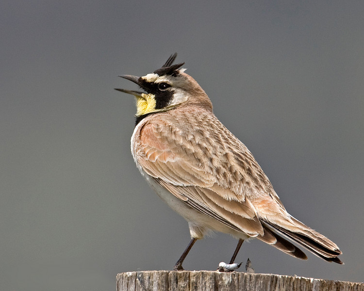 Interior West Horned Lark (Dremophila alpestris) at Mile Creek trailhead, Montana (west of West Yellowstone several miles). May 30, 2009