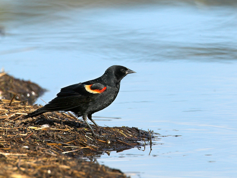 Red-winged Blackbird feeding at water's edge at Henry's Lake, Idaho. June 2007