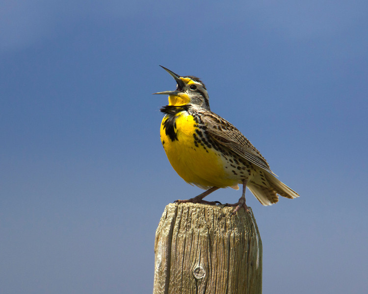 Meadowlark singing along South Valley Road in Red Rock Lakes National Wildlife Refuge. June 1, 2011.