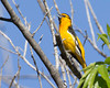 Bullock's Oriole (Icterus bullockii) at Bubbling Ponds, State Fish Hatchery, Cornville, AZ. April 28, 2011