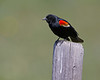 Red-winged Blackbird (Agelaius phonenicus) in Red Rock Lakes National Wildlife Refuge (on the North Valley road) on June 28, 2011.