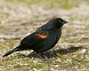 Red-winged Blackbird in San Jacinto Mountains. Jan 2008