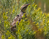 Juvenile Meadowlark at Red Rock Lakes Nat'l Wildlife Refuge in Rabbit Brush along Culver Road. Aug 21, 2011. This bird is large as a jay.