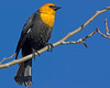 Yellow-headed Blackbird (Xanthocephalus xanthocephalus) in Island Park, Idaho, May 2009