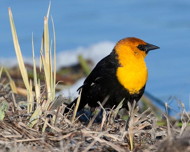 Yellow-headed Blackbird (male) (Xanthocephalus xanthocephalus), Henry's Lake, Island Park, Idaho. May 13, 2010