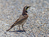 Horned Lark in Red Rock Lakes National Wildlife Refuge, July 2010. Lower Lake Road (Montana)