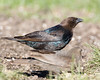 Brown-headed Cowbird in Island Park, Idaho. May 22, 2009