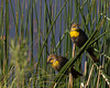 Yellowheaded Blackbirds (Female) (Xanthocephalus xanthocephalus) at Widgeon Pond in Red Rock Lakes National Wildlife Refuge. July 7, 2010.