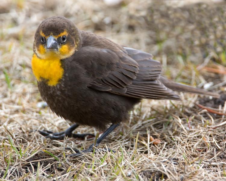 Young Yellow-headed Blackbird (Xanthocephalus xanthocephalus) in Island Park, Idaho. May 2009