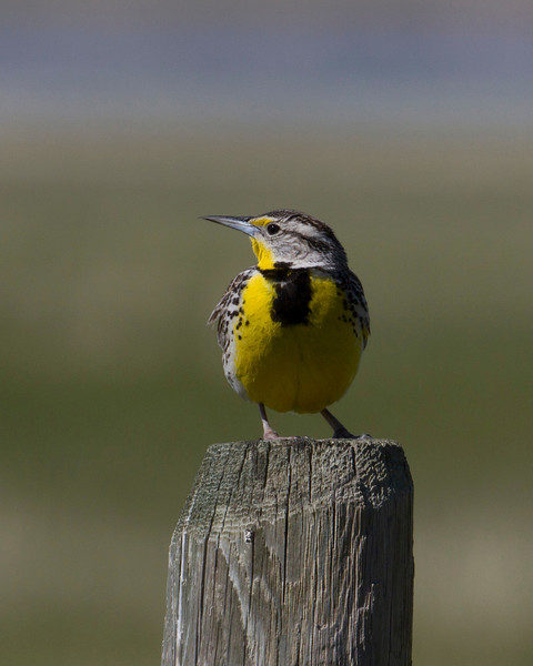 Western Meadowlark (Sturnella neglecta) on a post in Red Rock Lakes National Wildlife Refuge, Montana. June 18, 2010.