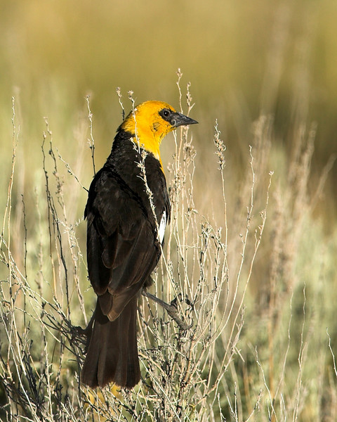 Yellow-headed Blackbird (MALE)  (Xanthocephalus xanthocephalus) in Red Rock Lakes National Wildlife Refuge. June 2007
