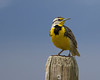 Meadowlark perching on a post along South Valley Road in Red Rock Lakes National Wildlife Refuge. June 1, 2011.