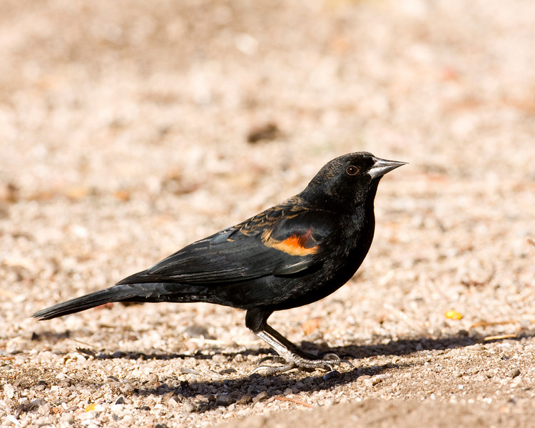 Red Winged Blackbird in Silent Valley RV Club in San Jacinto Mtns, Dec 2007.