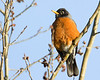 Robin  (Turdus migratorius) in tree at Island Park, Idaho (RedRock RV Park) May 16, 2009