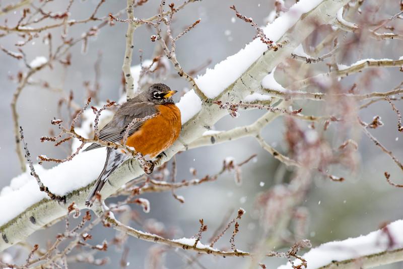 American Robin in Snow