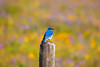 Male Mountain Bluebird and wildflowers