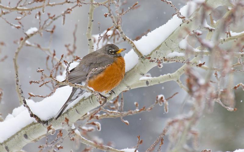 American Robin on Aspen Tree in Snow