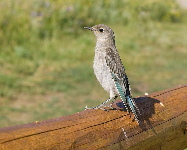 Mountain Bluebird (Sialia currucoides)  at RedRock RV Park,near Island Park, Idaho