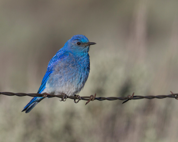 Mountain Bluebird (male) (Sialia currucoides)  sitting on barbed wire at Red Rock Lakes National Wildlife Refuge, Montana. June 28, 2010