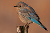 Mountain Bluebird along Red Rock road in Island Park, Idaho. Sep 17, 2012