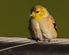 Yellow-rumped Warbler.