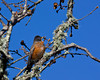 American Robin  (Turdus migratorius) on the Sacramento Delta in old Oak tree. Dec 2009