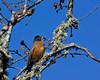 American Robin  (Turdus migratorius) on the Sacramento Delta in old Oak tree. Dec 2009
