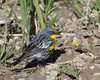 Yellow-rumped Warbler (Dendroica coronata) at Red Rock Lakes National Wildlife Refuge, Montana, June 18, 2010.