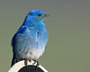 Mountain Bluebird (Sialia currucoides) . May 31, 2009