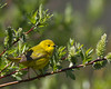 Yellow Warbler at Upper Red Rock Lake campground. June 18, 2010. Red Rock Lakes National Wildlife Refuge