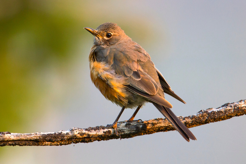 Young American Robin  (Turdus migratorius) in Targhee Forest, Aug 7, 2012.