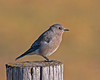 Mountain Bluebird along Red Rock Road in Island Park, Idaho. Sep 7, 2012