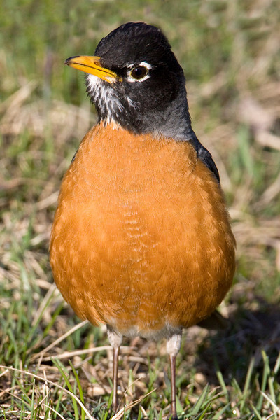 Closeup of Robin  (Turdus migratorius) on ground at RedRock RV Park, near Island Park, Idaho. May 16, 2009