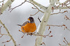 American Robin on aspen tree in snow
