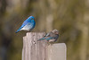 Mountain Bluebird Couple