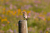 Female Mountain Bluebird and wildflowers