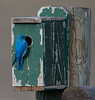 Western Bluebird with birdhouse