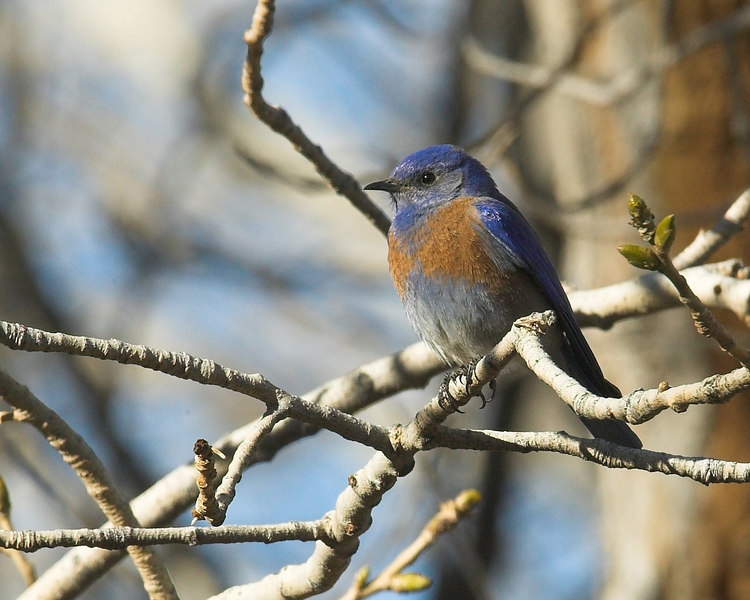 """Western Bluebird (male) at the Big Morongo Canyon Preserve in Southern California desert. Not many birds there when I went, but I did see this guy in a tree along the walk. <a href=""""http://www.bigmorongo.org/"""">http://www.bigmorongo.org/</a>"""