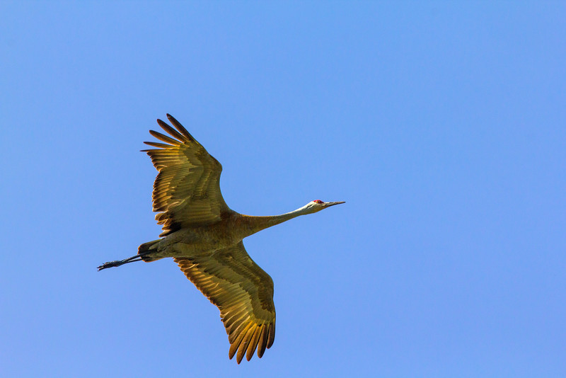 Sanhill Crane Flying