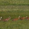 Sandhill Cranes along Henry's Lake Road. 2013