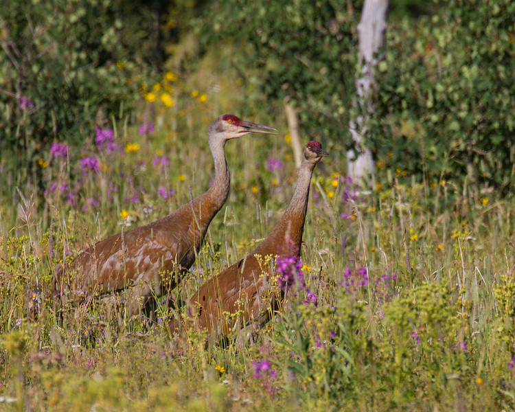 Sandhill Cranes along Red Rock Road in Island Park, Idaho. July 23, 2013