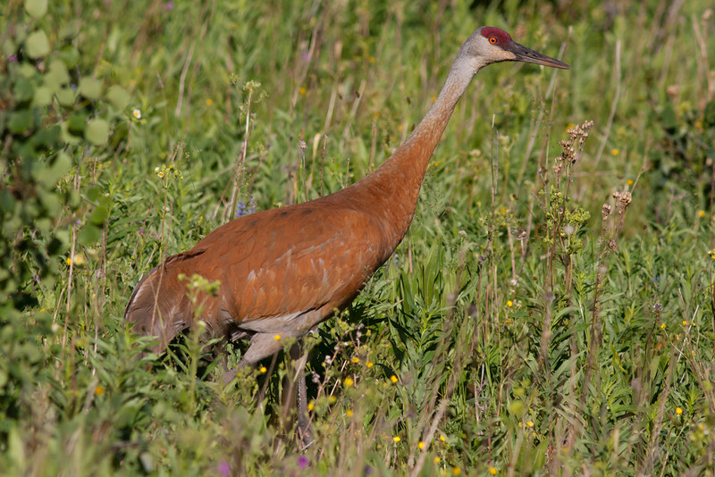 Sandhill Crane (Grus canadensis) in tall grasses lining the Targhee National Forest in Idaho.