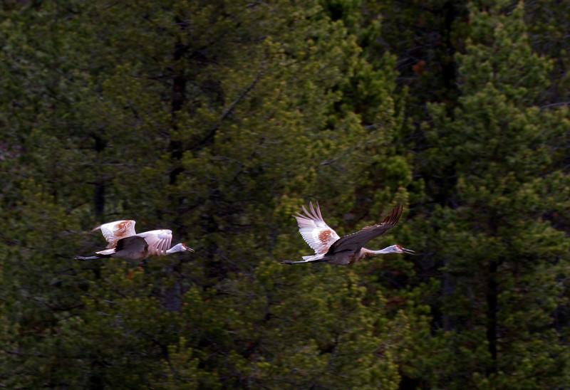 Sandhill Cranes Flying over Snake River