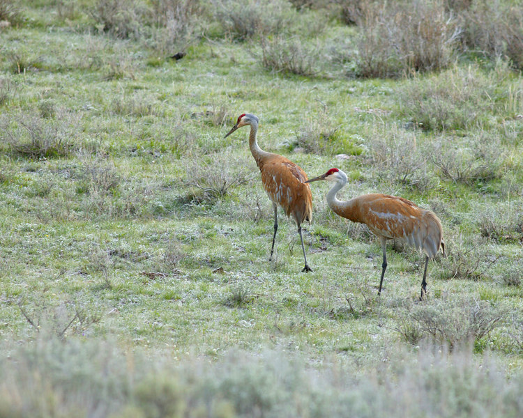 Sandhill Cranes (Grus canadensis) in Red Rock Lakes Wildlife Refuge. May 2004