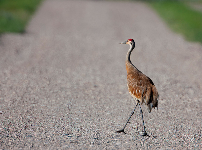 Sandhill Crane crossing South Valley road in Red Rock Lakes Nat'l Wildlife Refuge. Aug 2011.