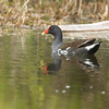 Common Moorhen at Aransas National Wildlife Refuge. April 2007