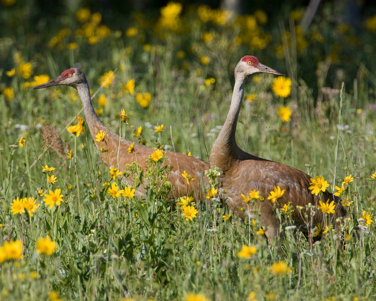 Sandhill Crane mates (Grus canadensis) in meadow of Little Sunflowers across from RedRock RV Park in Island Park, Idaho. July 15, 2009