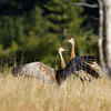 Sandhill Cranes fighting at Red Rock Lakes National Wildlife Refuge. Montana.