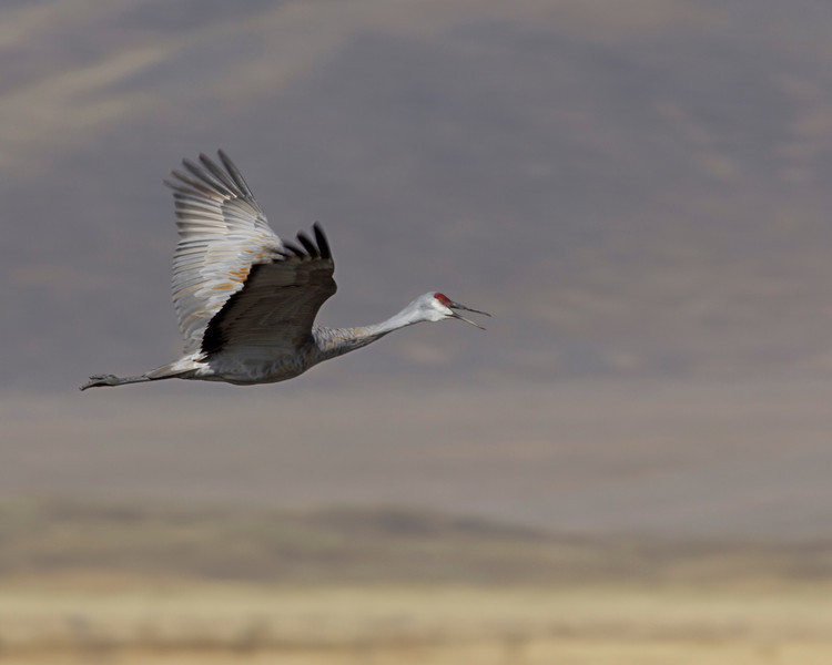 Sandhill Crane (Grus canadensis) flying over Lower Red Rock Lake in Red Rock Lakes National Wildlife Refuge. The crane is squawking as it flies.Sep 2010. Montana
