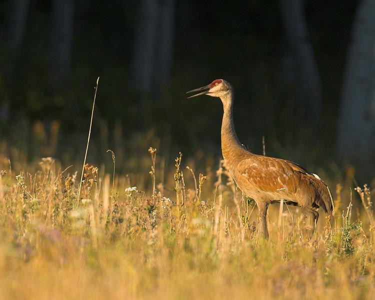 Sandhill Crane (Grus canadensis) , Island Park, ID July 18, 2007